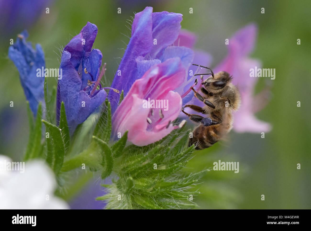 Honeybee-Apis mellifera nectaring on wild flowers. Uk - Stock Image