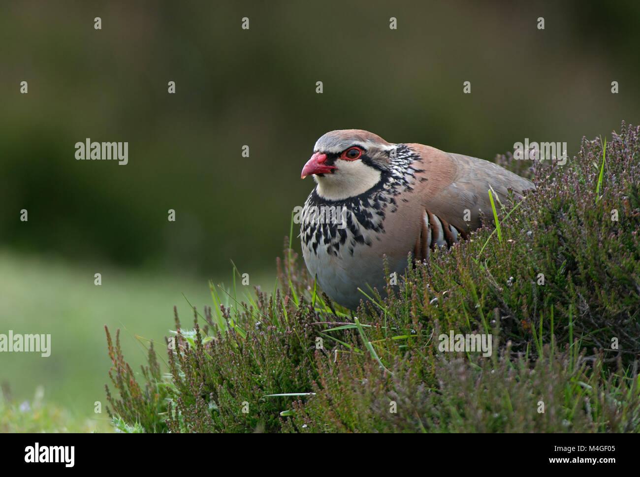 Red-legged partridge - Alectoris rufa. Uk - Stock Image