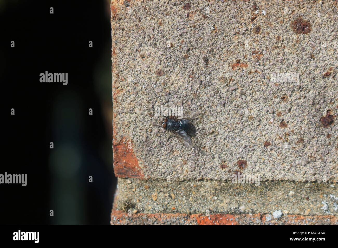 Fly on a brick wall - Stock Image