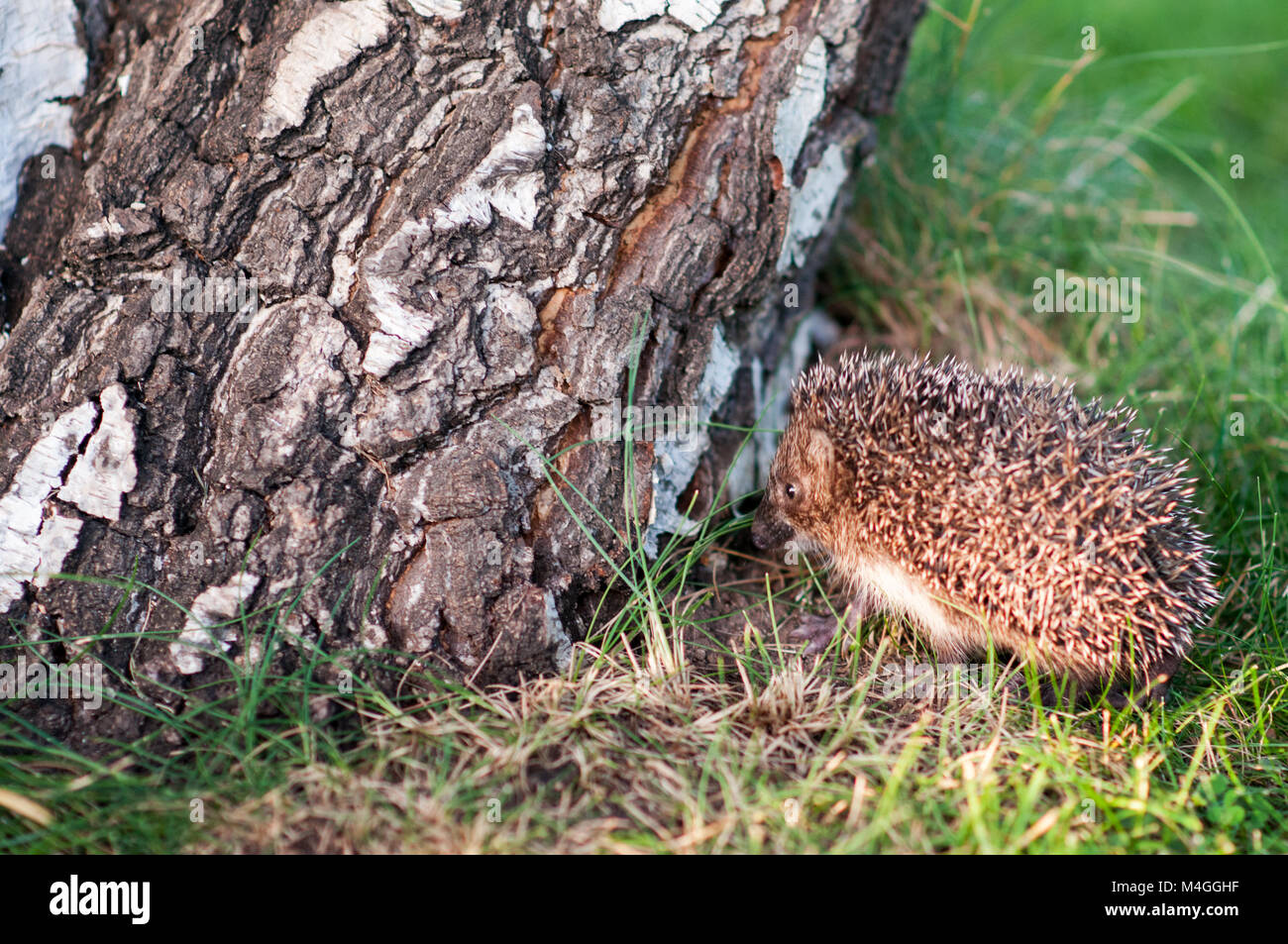 Small hedgehog near the birch log in the grass - Stock Image