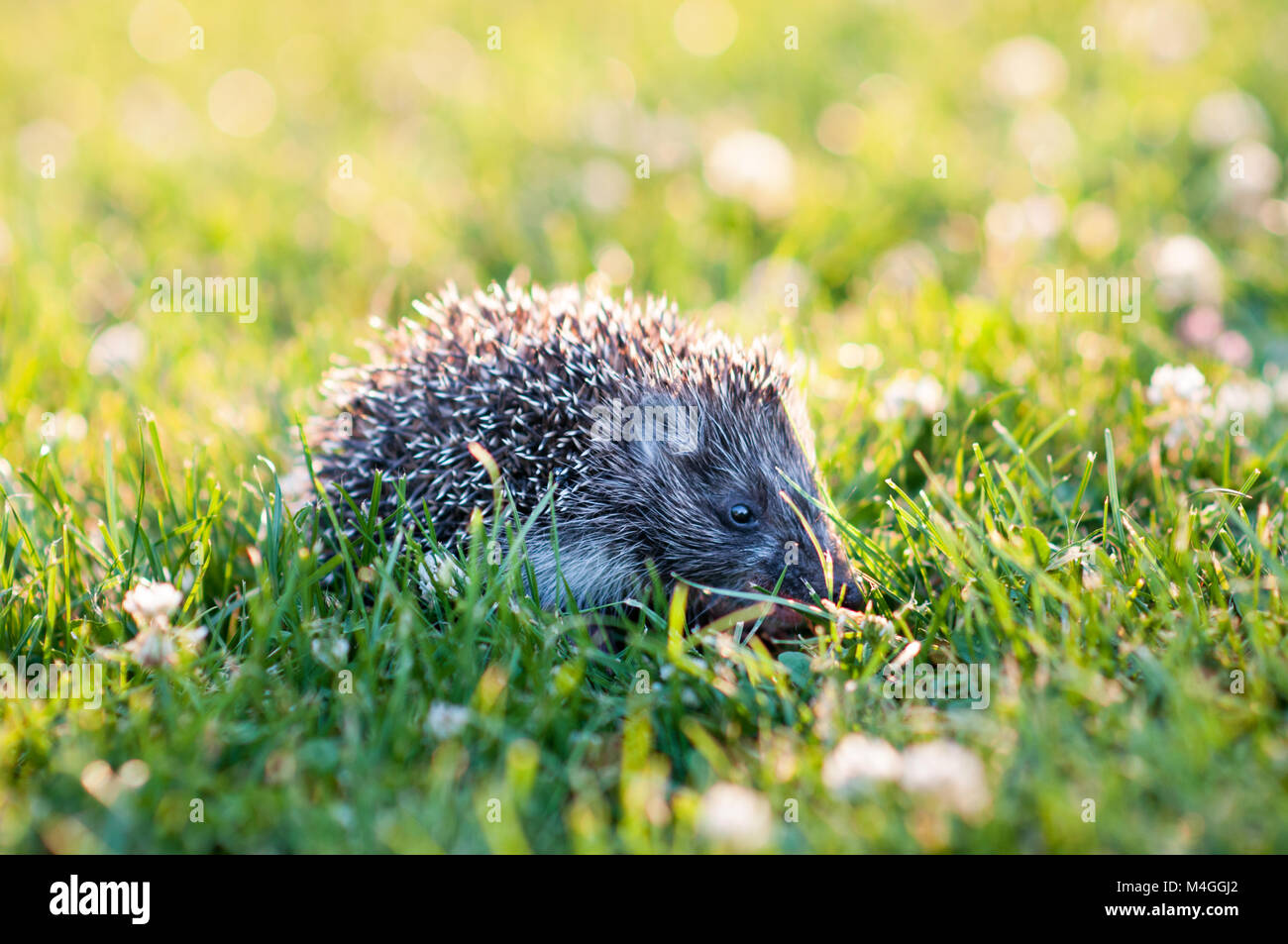 Small grey hedgehog walking in the grass - Stock Image