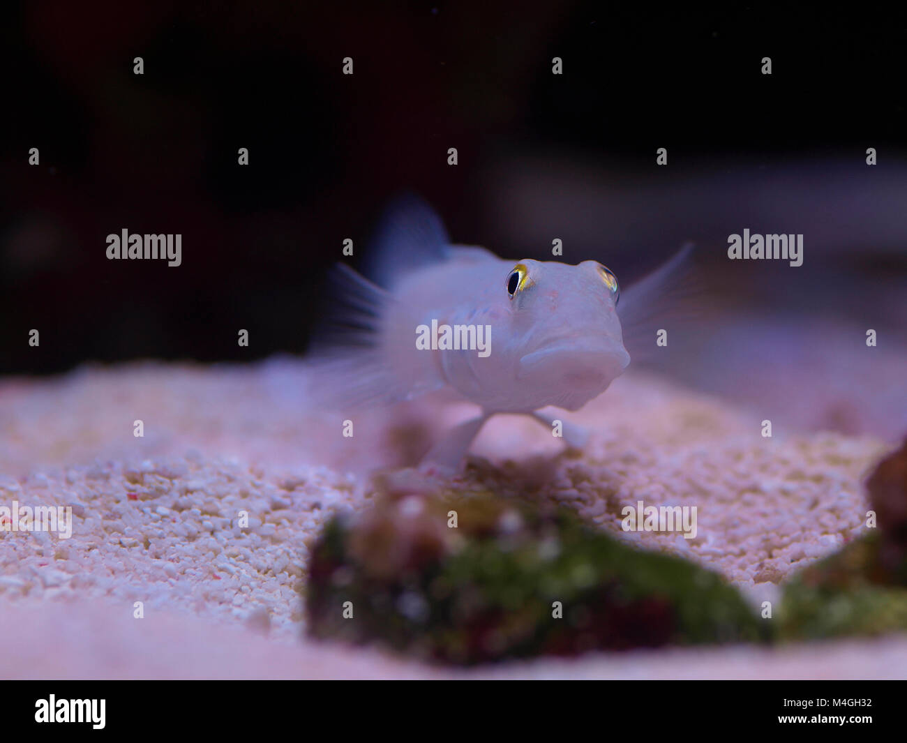 Close up macro shot of a marine chalk or sand sifting goby fish - Stock Image