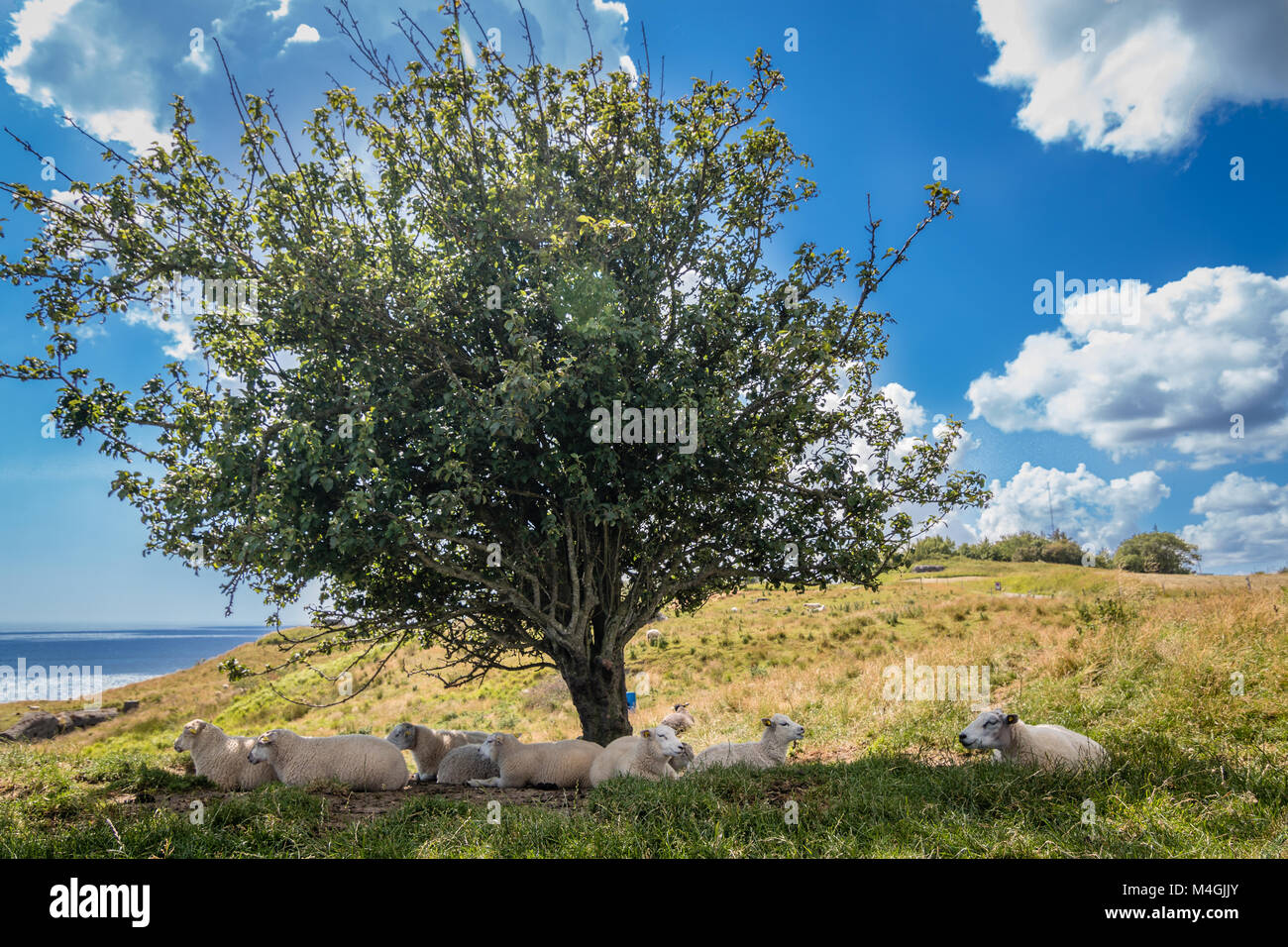 Tree with sheeps in the shaddow in sunny island landscape with baltic sea - Stock Image