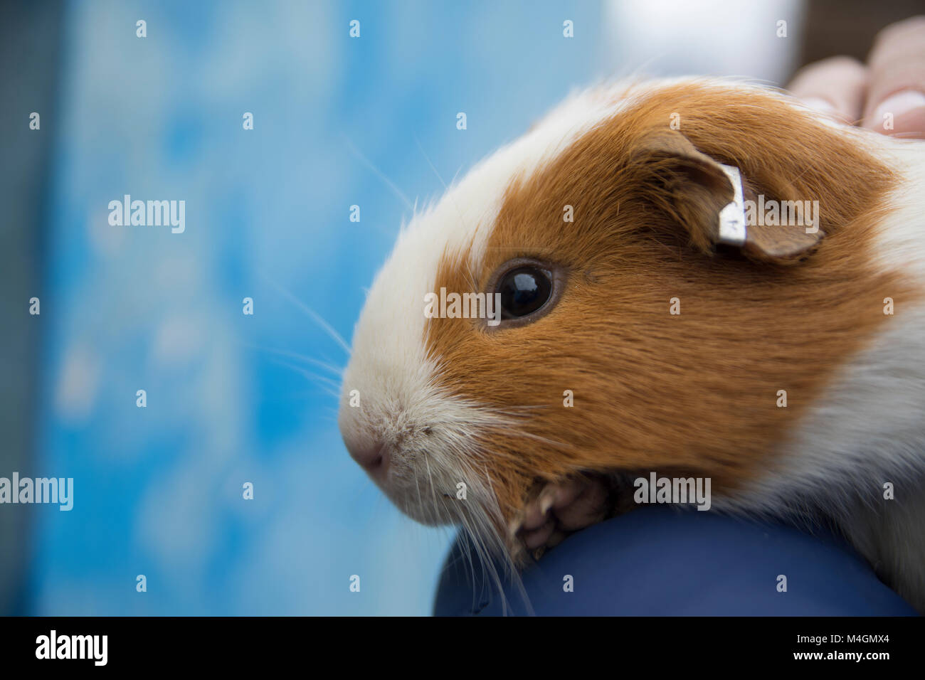 cui rodent from bolivia stock photo 174929948 alamy