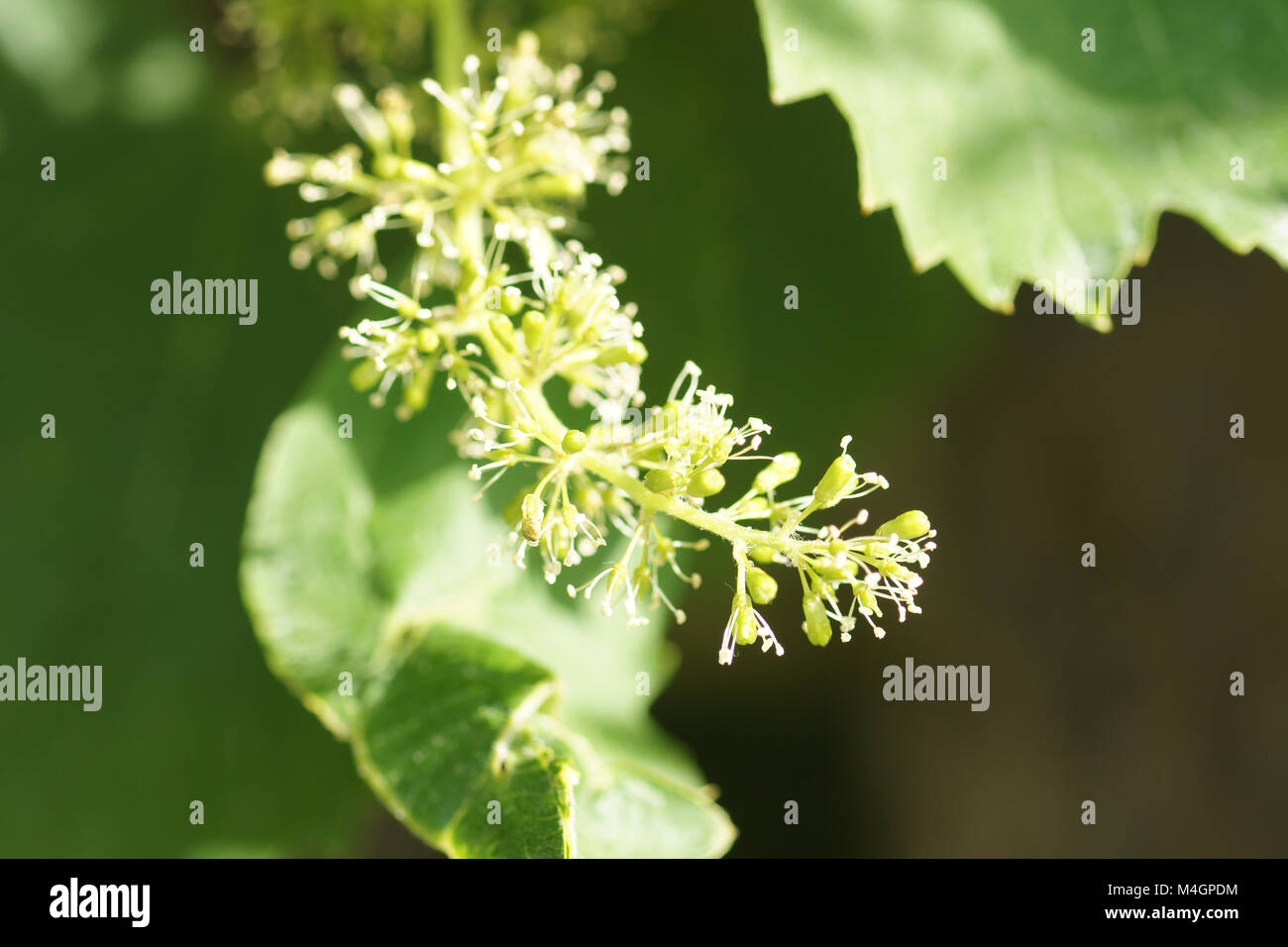 Vitis labrusca, fox grape, blossoms Stock Photo