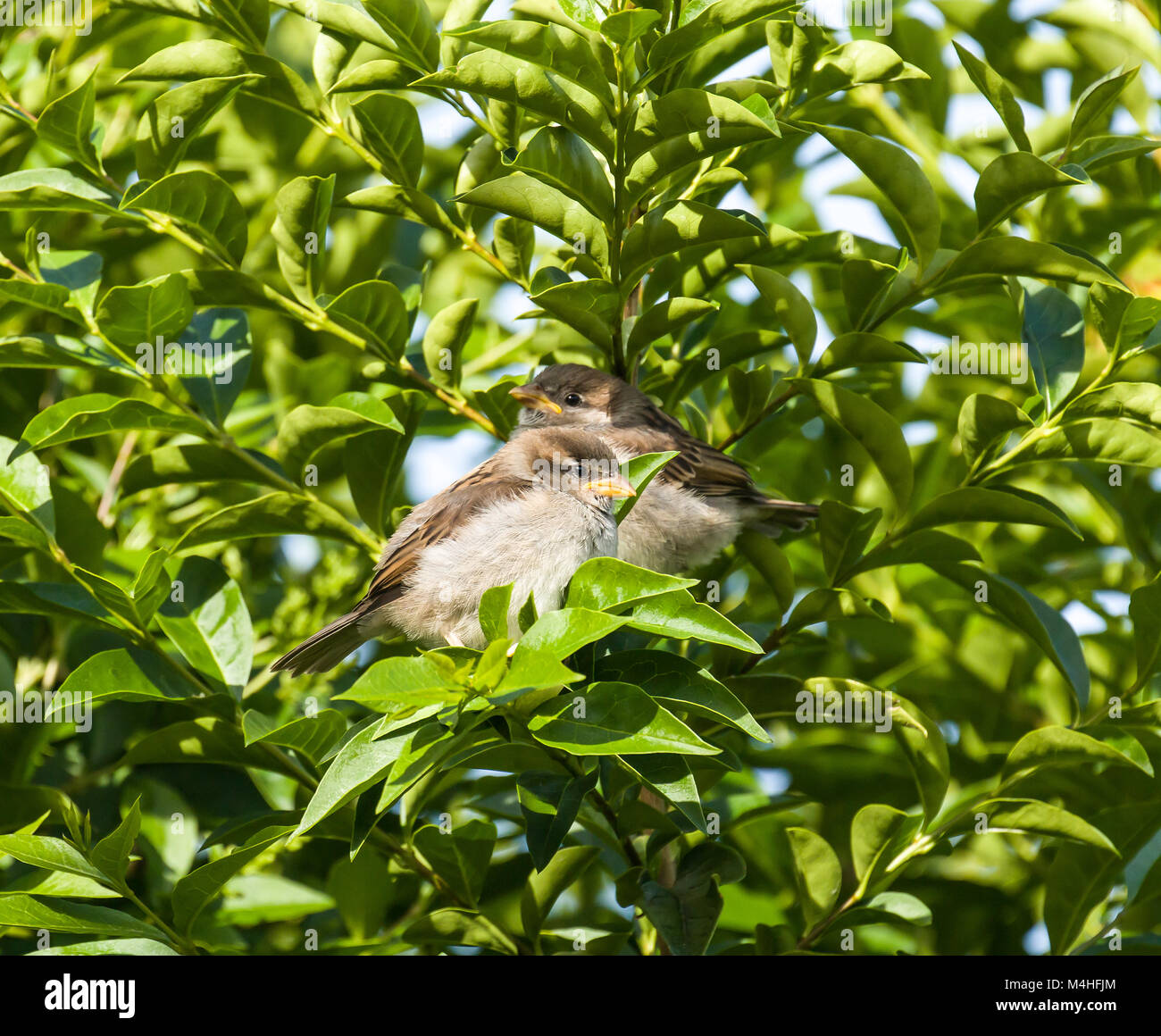 House Sparrow Fledglings - Stock Image
