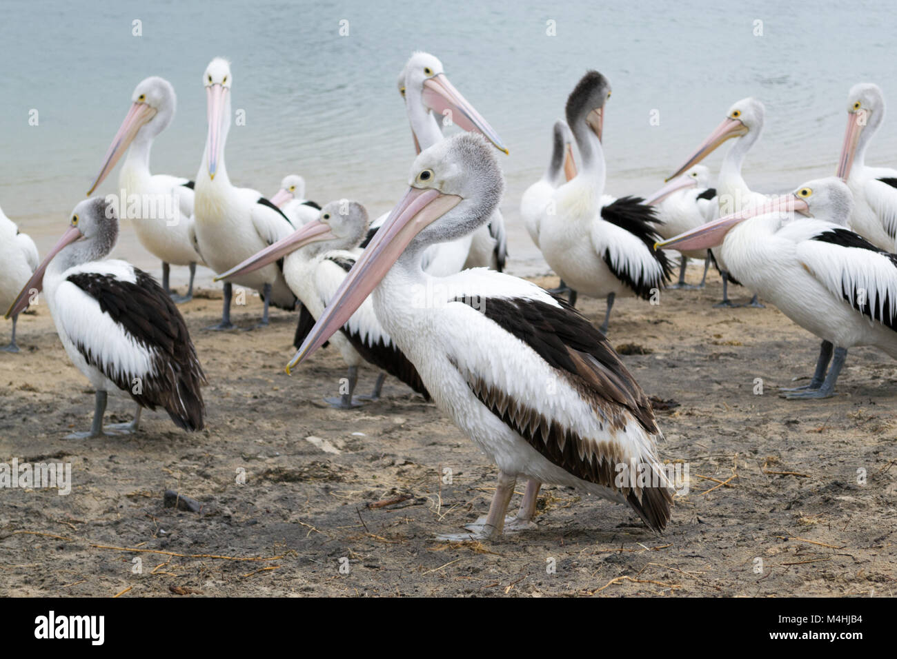 Pelican feeding in San Remo - Stock Image