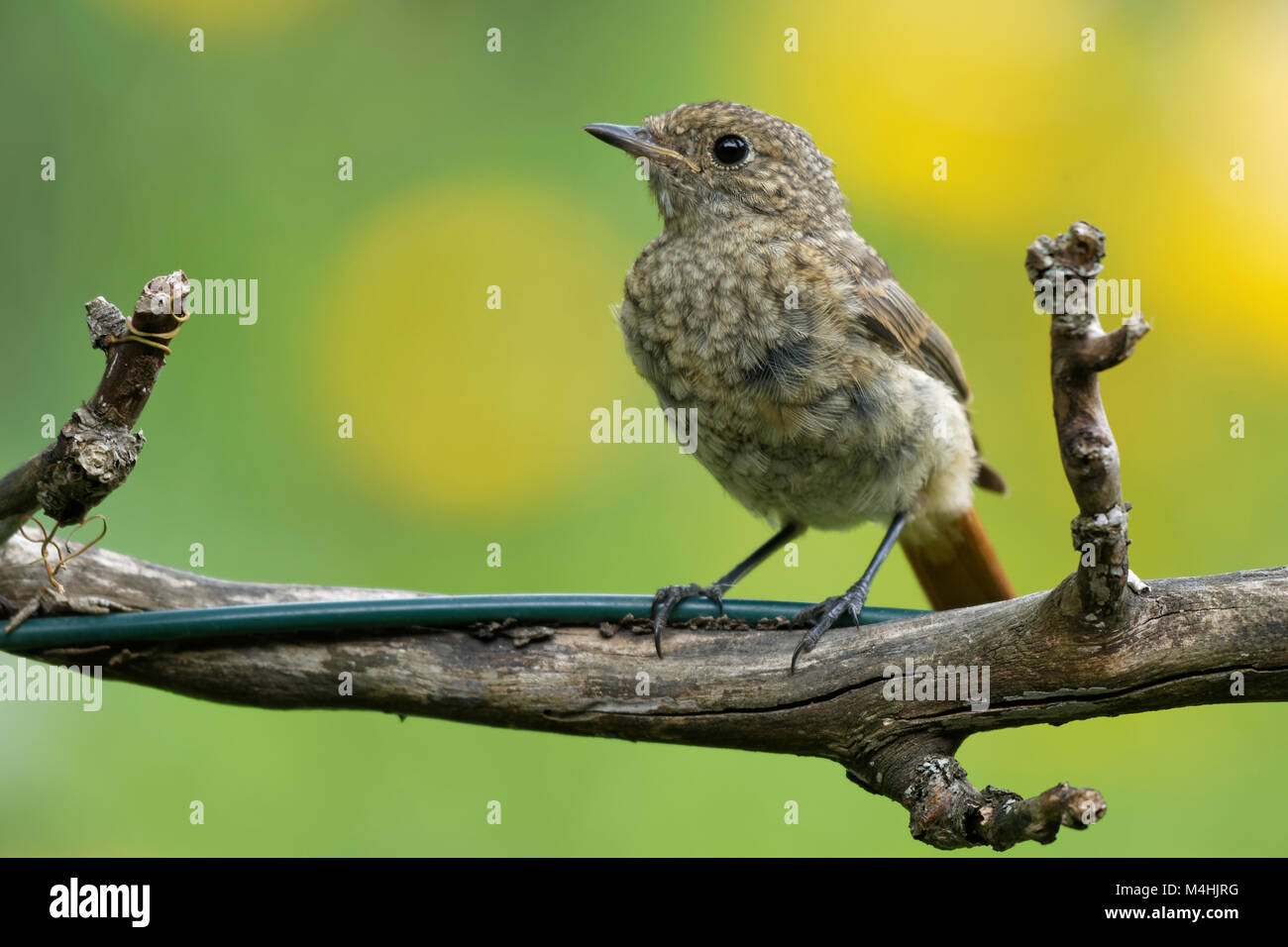 young female common redstart Stock Photo