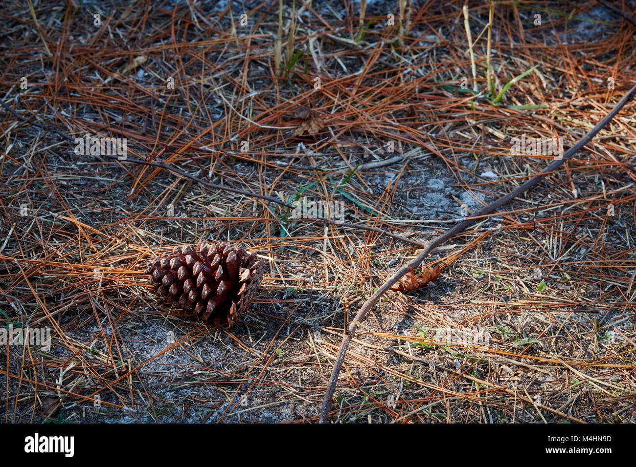 Pinecone and forest floor, Gulf State Park, Alabama Stock Photo