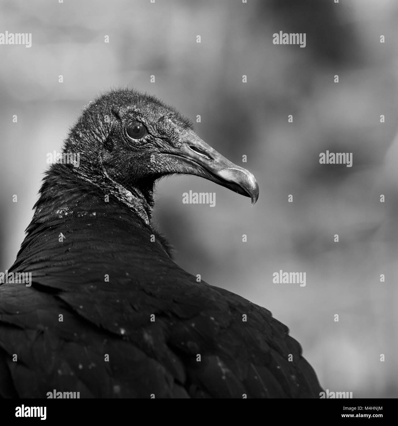 Turkey vulture close up stock image