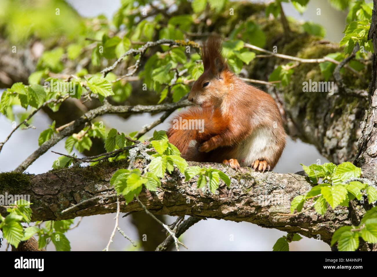 Red Squirrel 23 - Stock Image