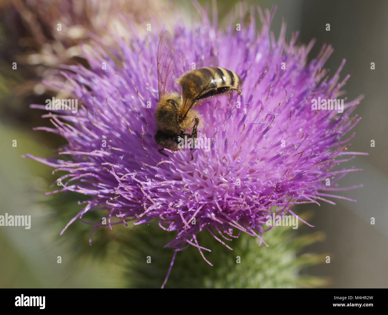 Cirsium vulgare, common thistle, with honeybee - Stock Image