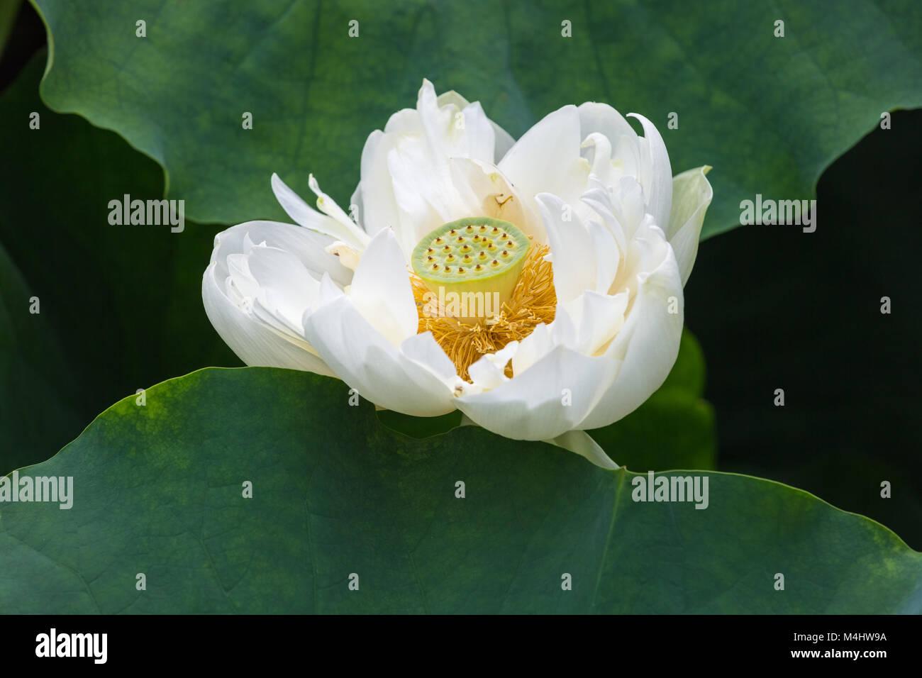 White Lotus Flower Closeup Stock Photos White Lotus Flower Closeup