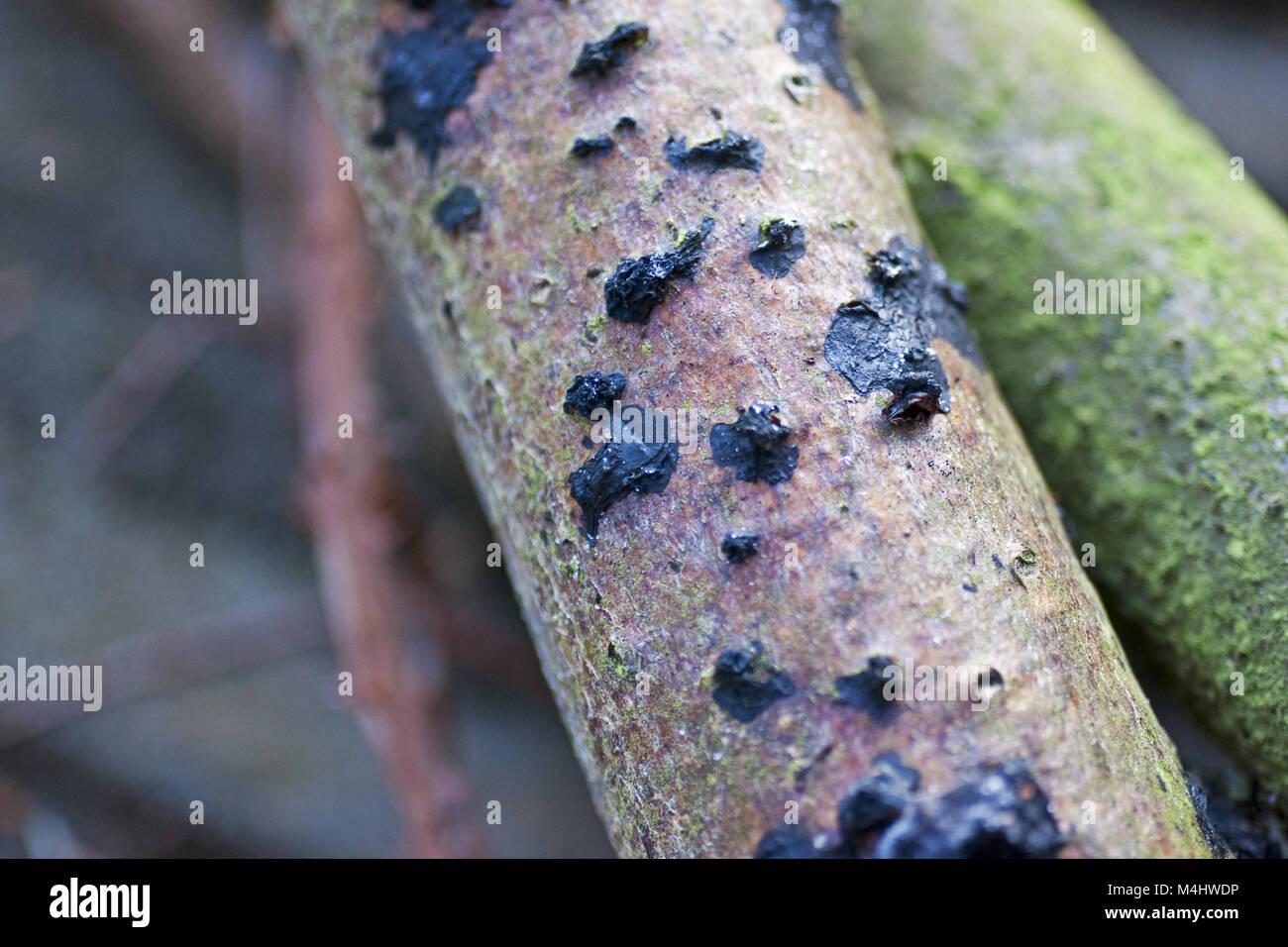Black brain fungus (Exidia glandulosa) - Stock Image