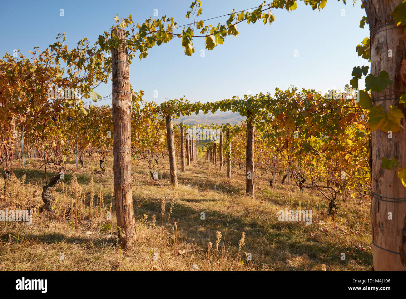 Vineyard, wide angle view in autumn with yellow leaves in a sunny day, vanishing point - Stock Image
