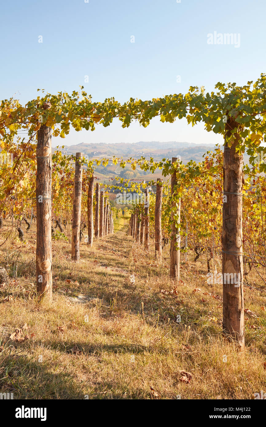 Path in vineyard in autumn with yellow leaves in a sunny day, vanishing point - Stock Image