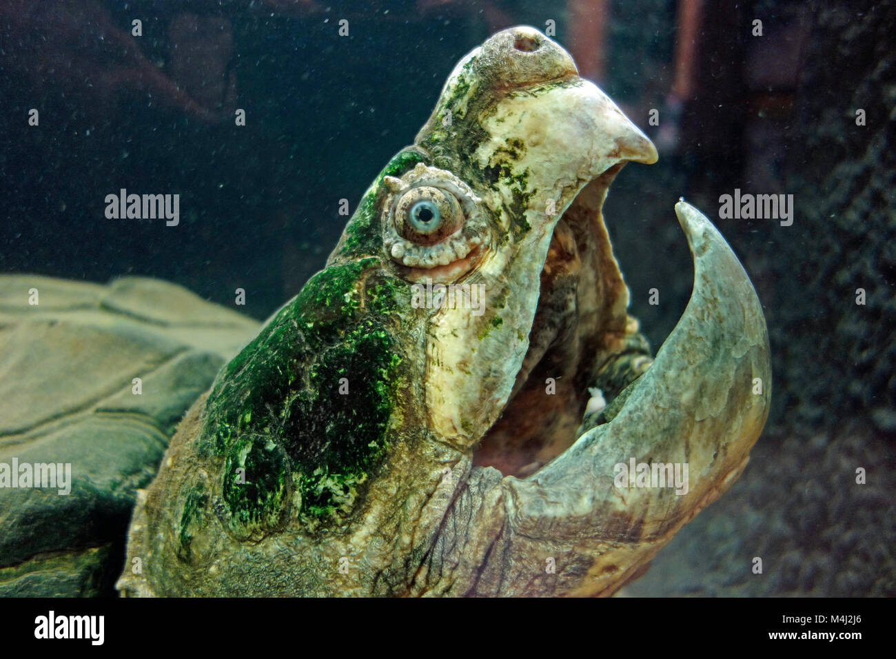 A very old Alligator snapping turtle - Stock Image