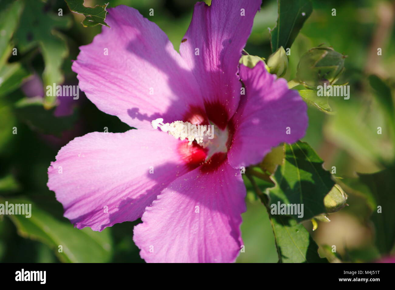 Pink farbene, rosa Hibiskus Blüte im Detail am Hibiskus Strauch - Stock Image