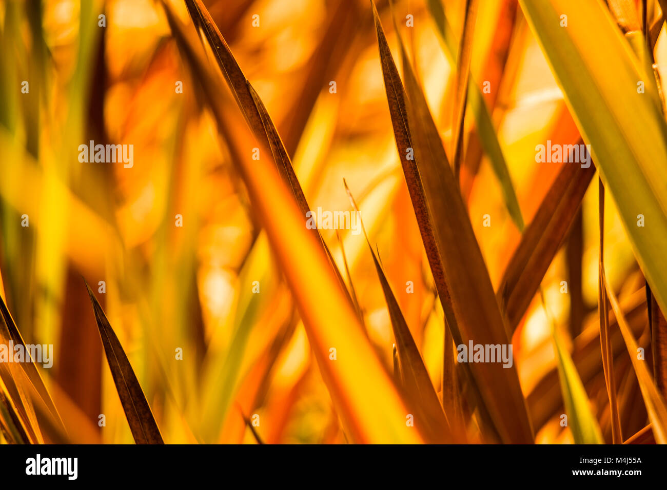 beautiful background of leaves with yellow tones in the autumn sunset - Stock Image
