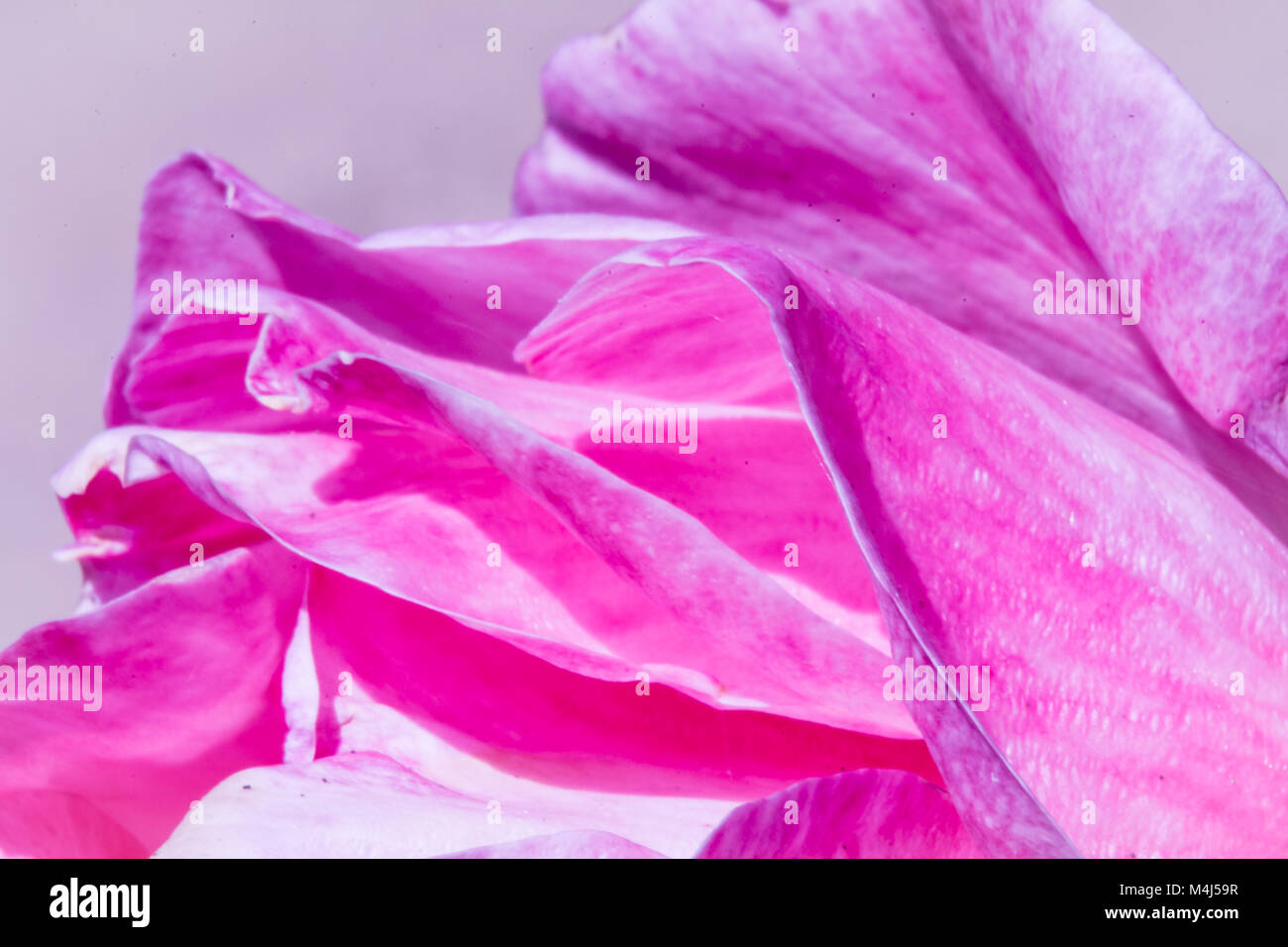 lines and waves of the petals of a rose at dawn - Stock Image