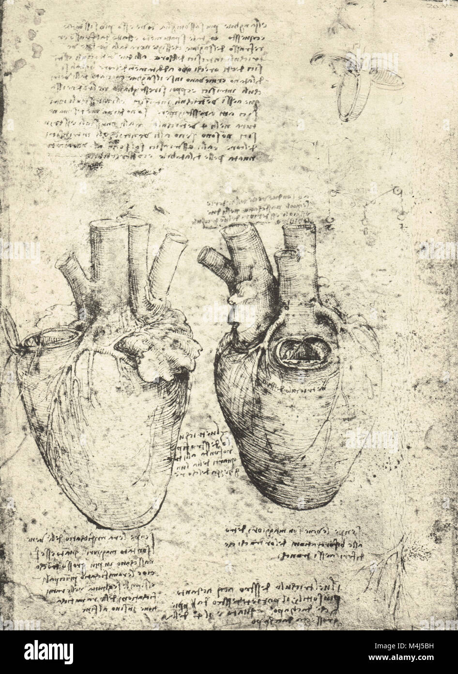 Two drawings of the heart, drawn by Leonardo Da Vinci, circa 1513 - Stock Image