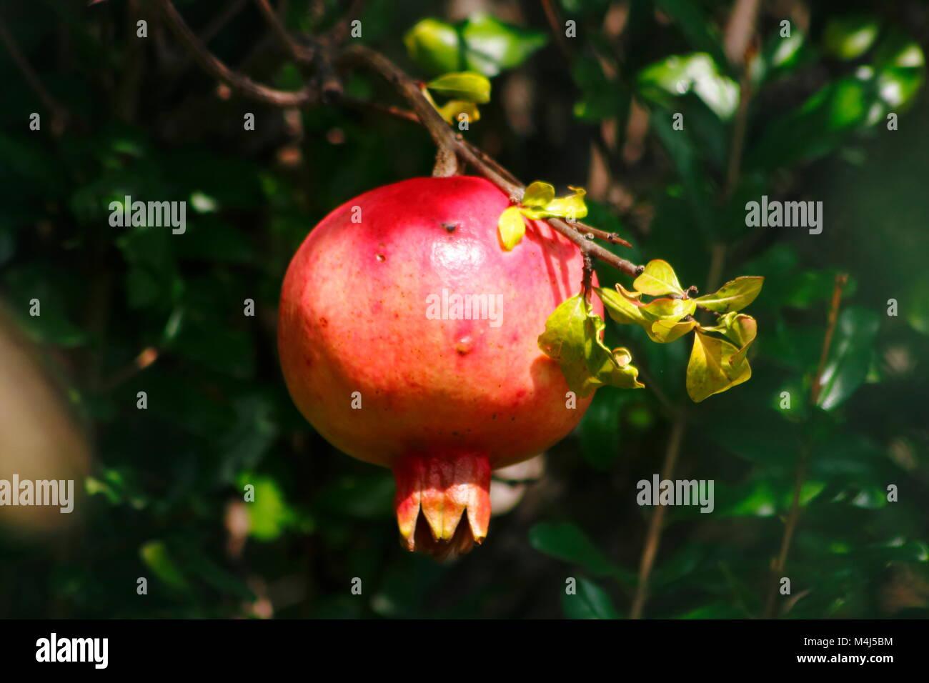 Rote Granatapfel Frucht hängt am Baum, Granatapfelbaum - Stock Image