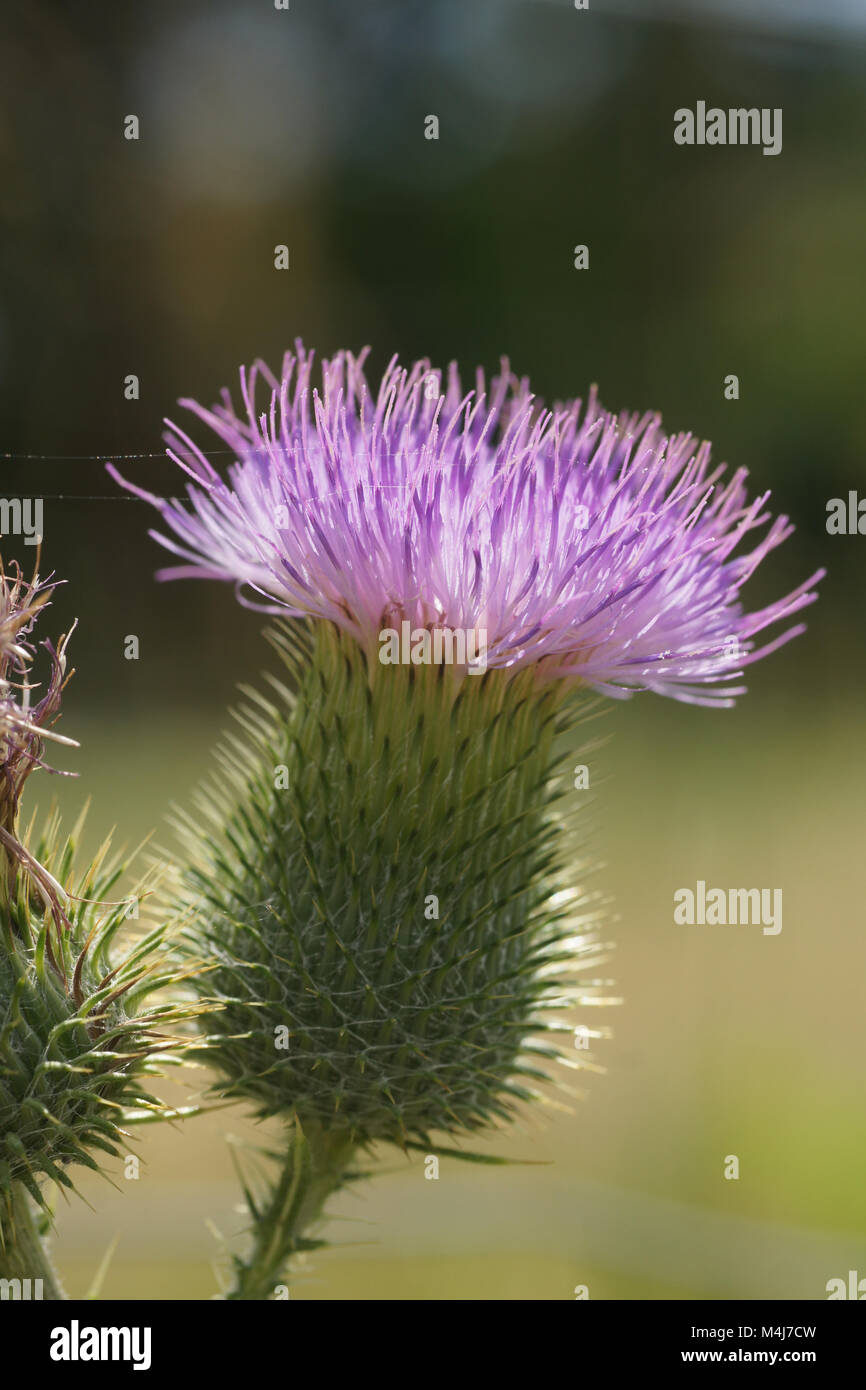 Cirsium vulgare, common thistle - Stock Image