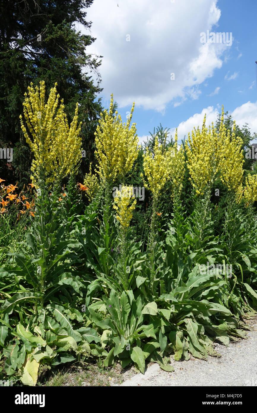 Verbascum olympicum, olympian mullein - Stock Image