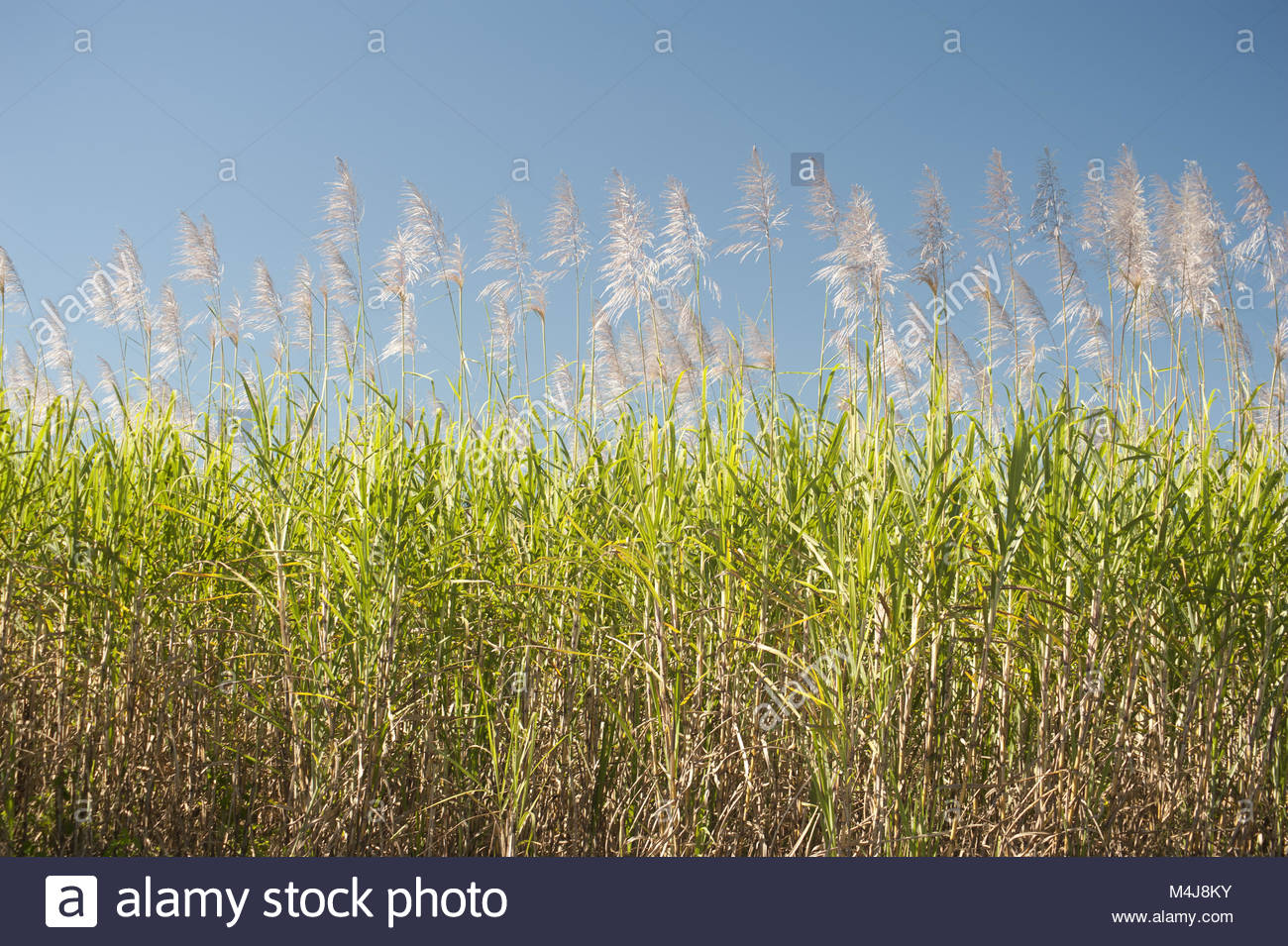 Sugarcane canes growing in an agricultural field - Stock Image