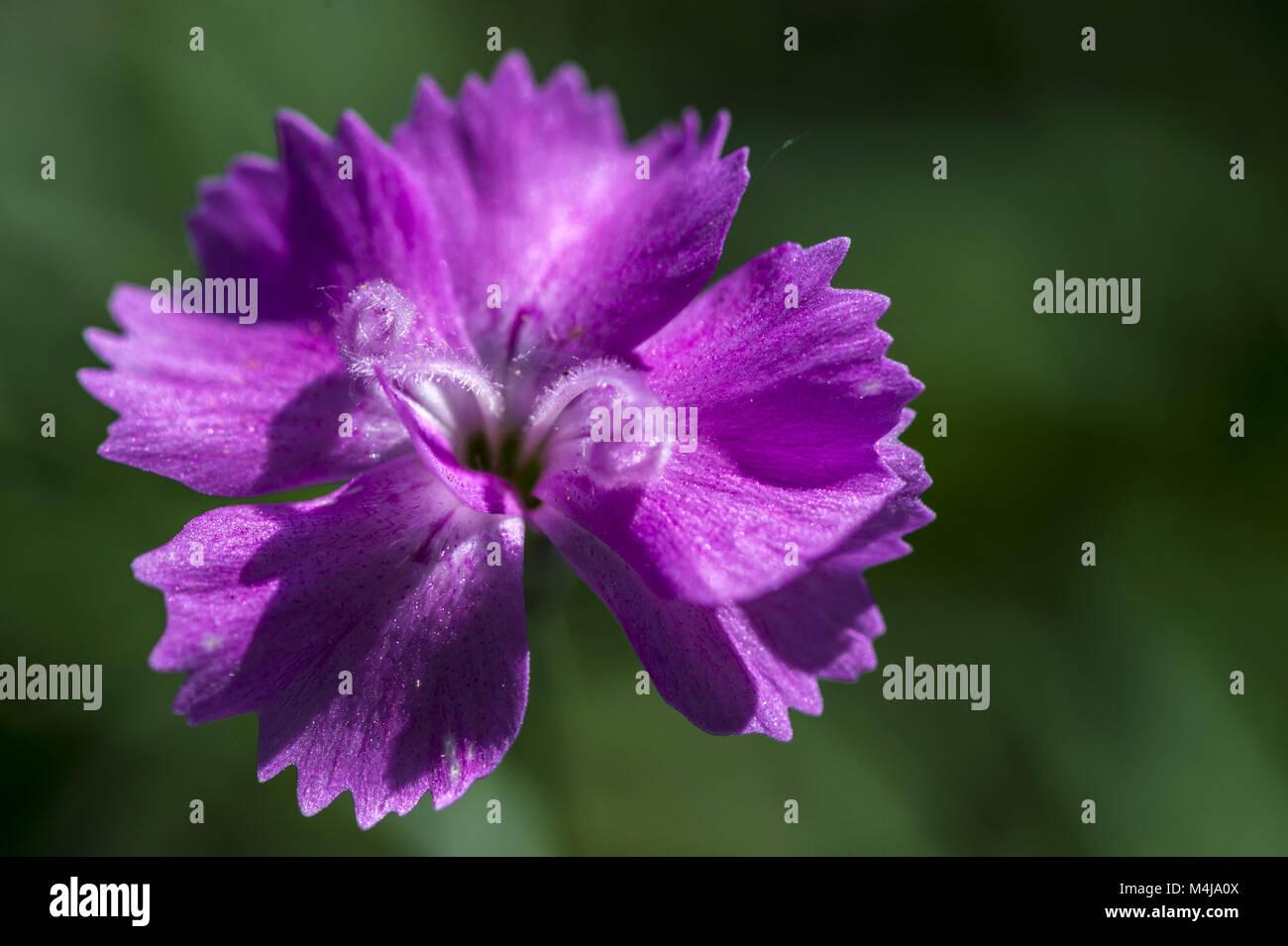 Feather carnation (Dianthus plumarius) - Stock Image