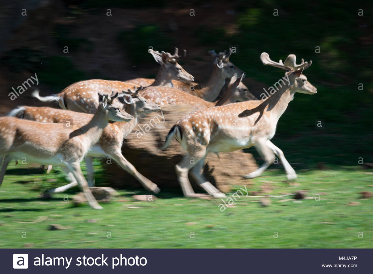 Slow pan of deer rushing past rock - Stock Image
