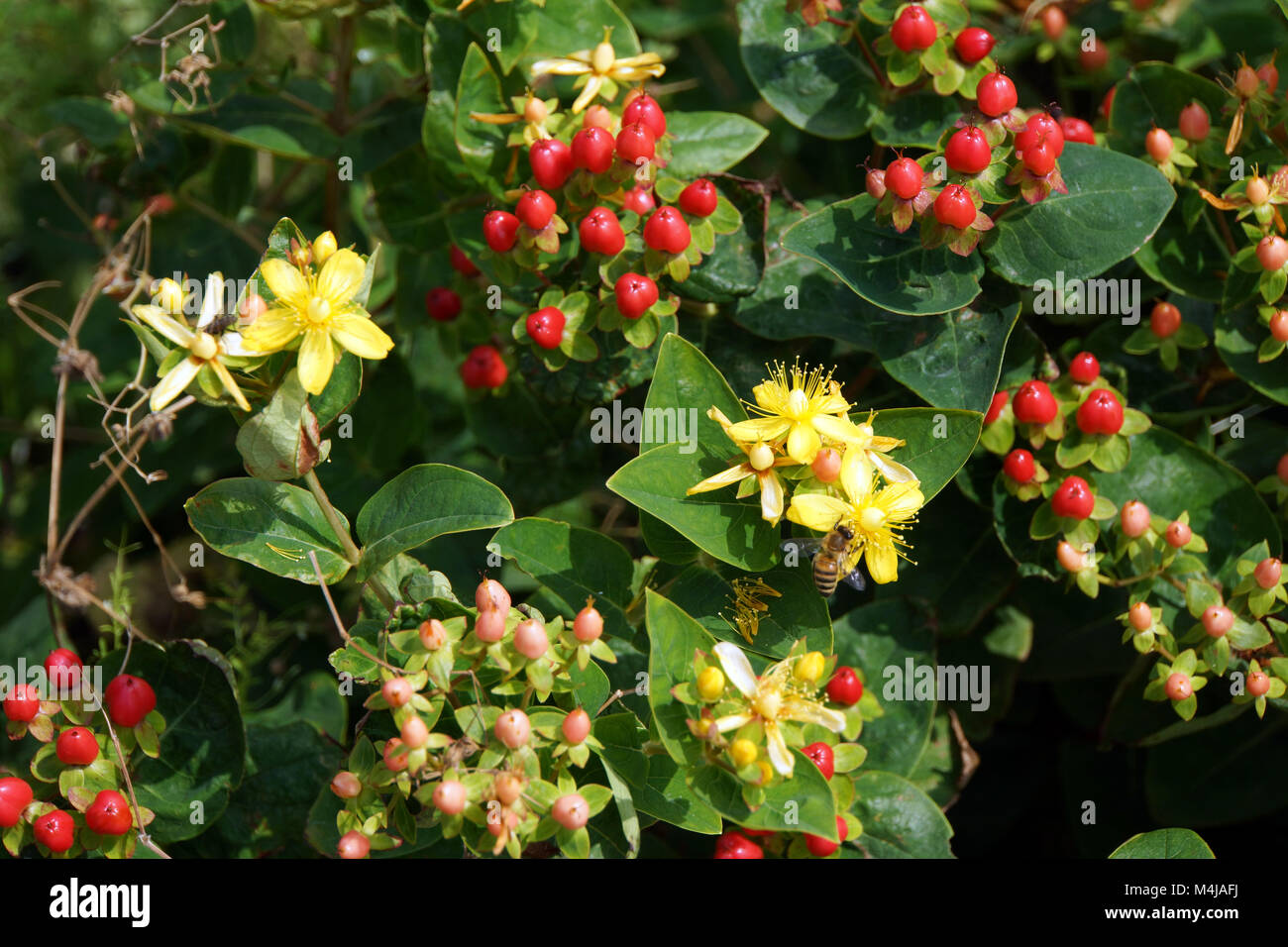 Hypericum spec. Stock Photo