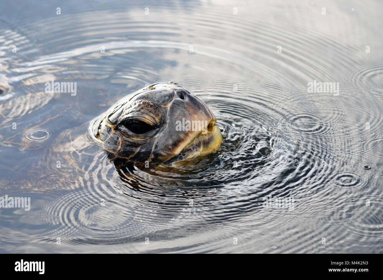 A large green sea turtle, comes up for air and looks like he is blowing bubbles Stock Photo