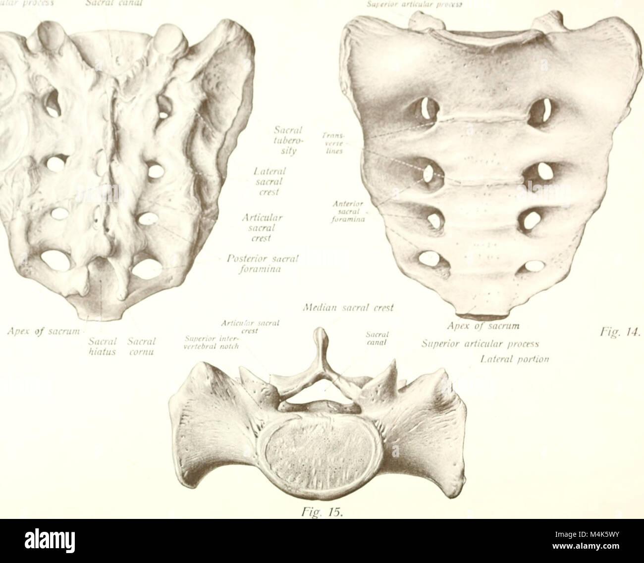 Sacral Hiatus Anatomy Gallery - human body anatomy