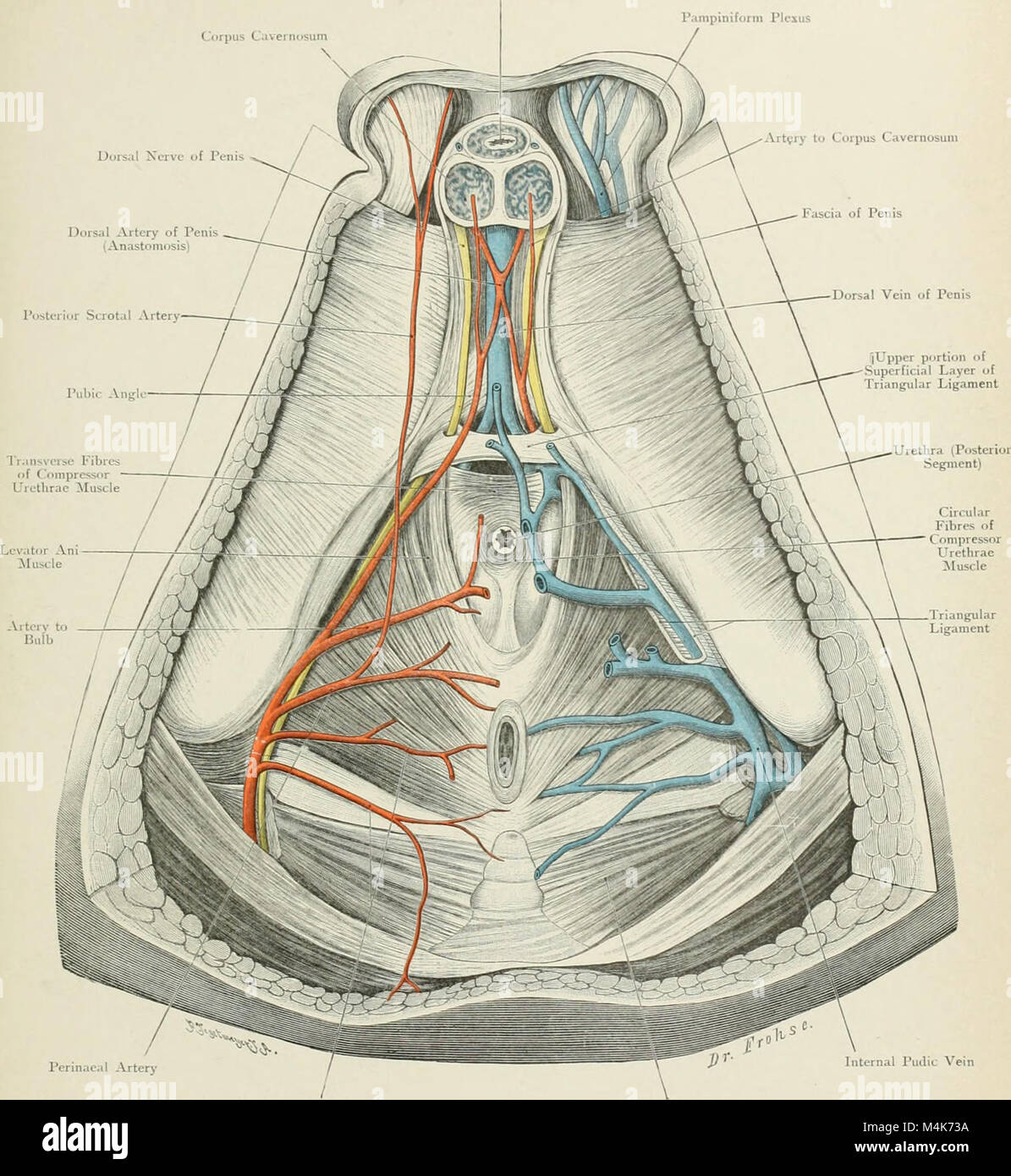 Atlas Of Topographical Anatomy Stock Photos Atlas Of Topographical