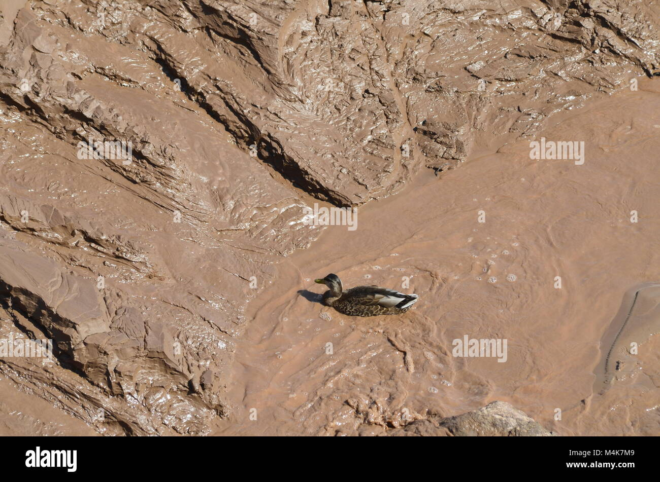 A confused duck, has found a place to swim but turns out it is just a muck hole with no clean water in site Stock Photo