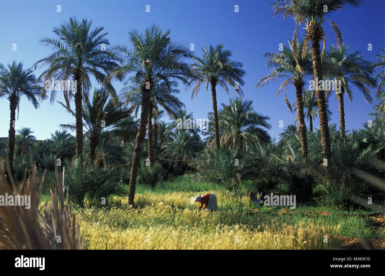 Algeria. Timimoun. Western Sand Sea. Grand Erg Occidental. Sahara desert. Oasis. Woman working in the gardens cutting - Stock Image