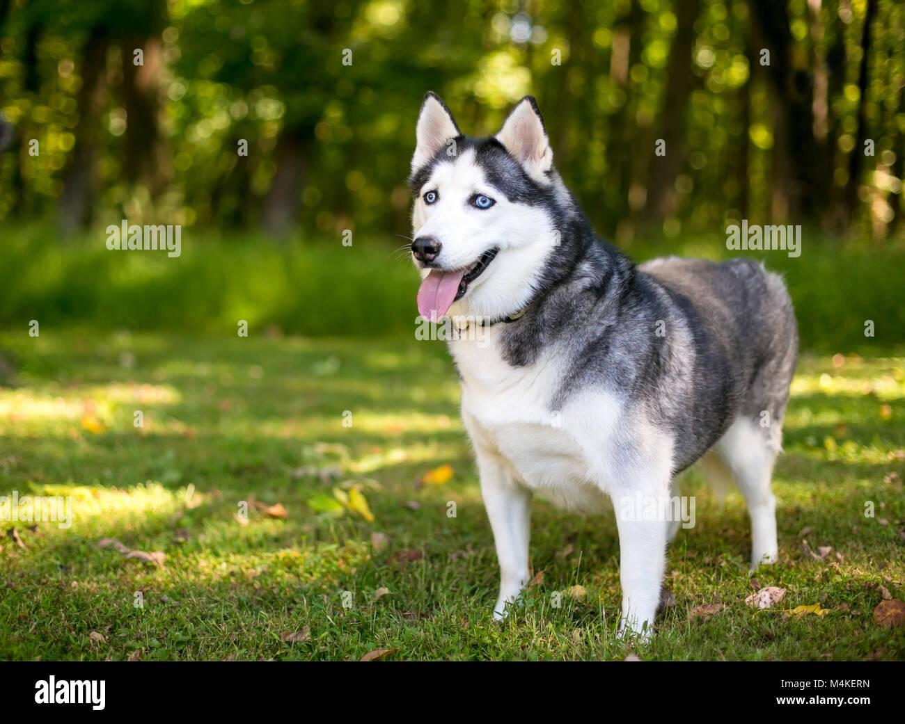 An Alaskan Husky dog outdoors - Stock Image
