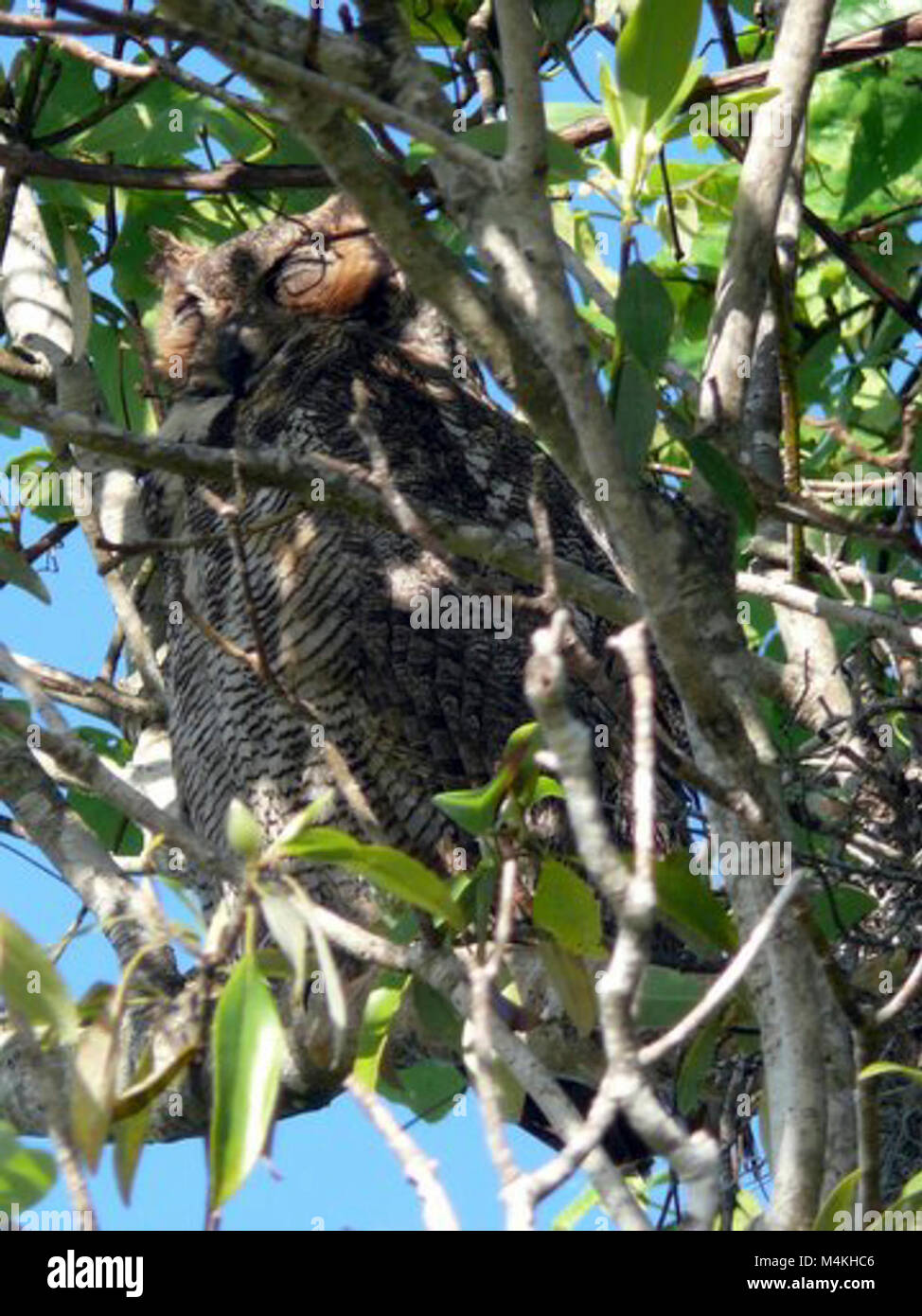 Around the Shark Valley Visitor Center parking lot. Great Horned Owl Sleeping. Stock Photo