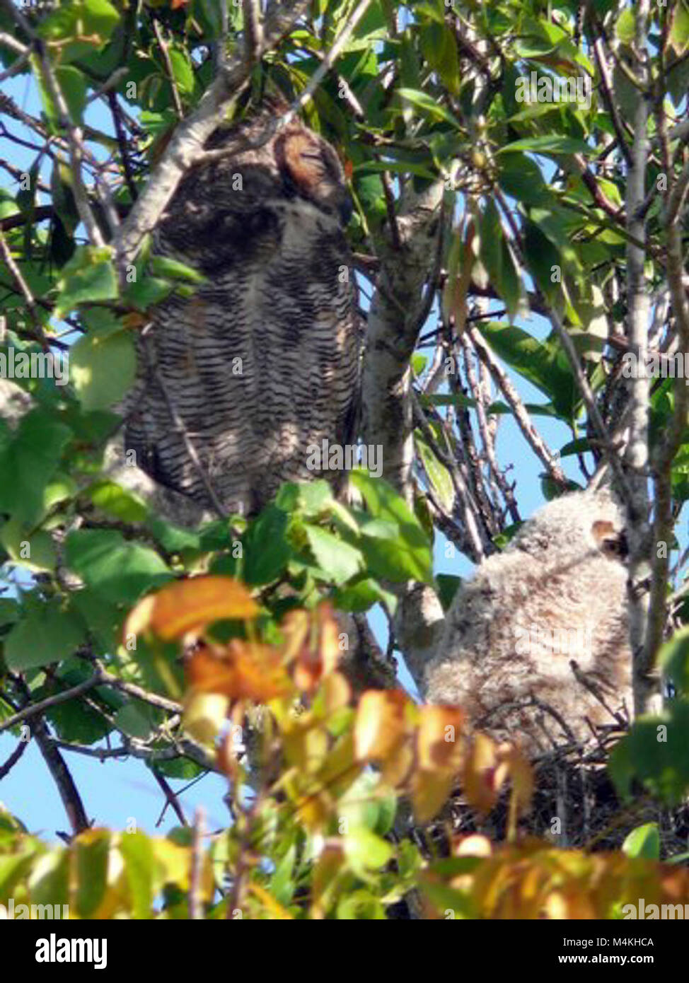 Great Horned Owls in nest formerly used by RedShouldered Hawk.  Originally a crow's nest.  Around the Shark Valley Stock Photo
