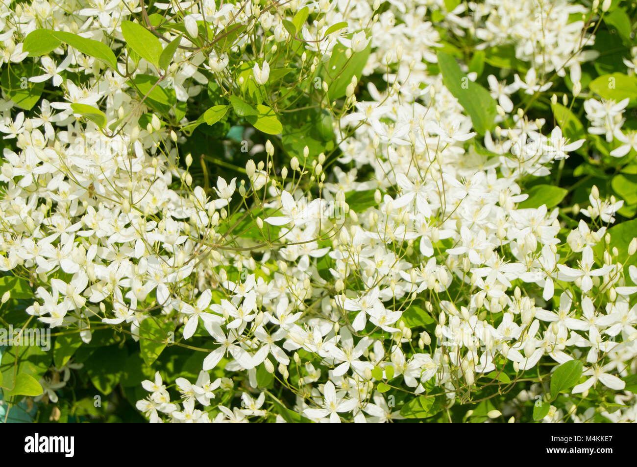 Beautiful white clematis, known as Clematis vitalba - Stock Image