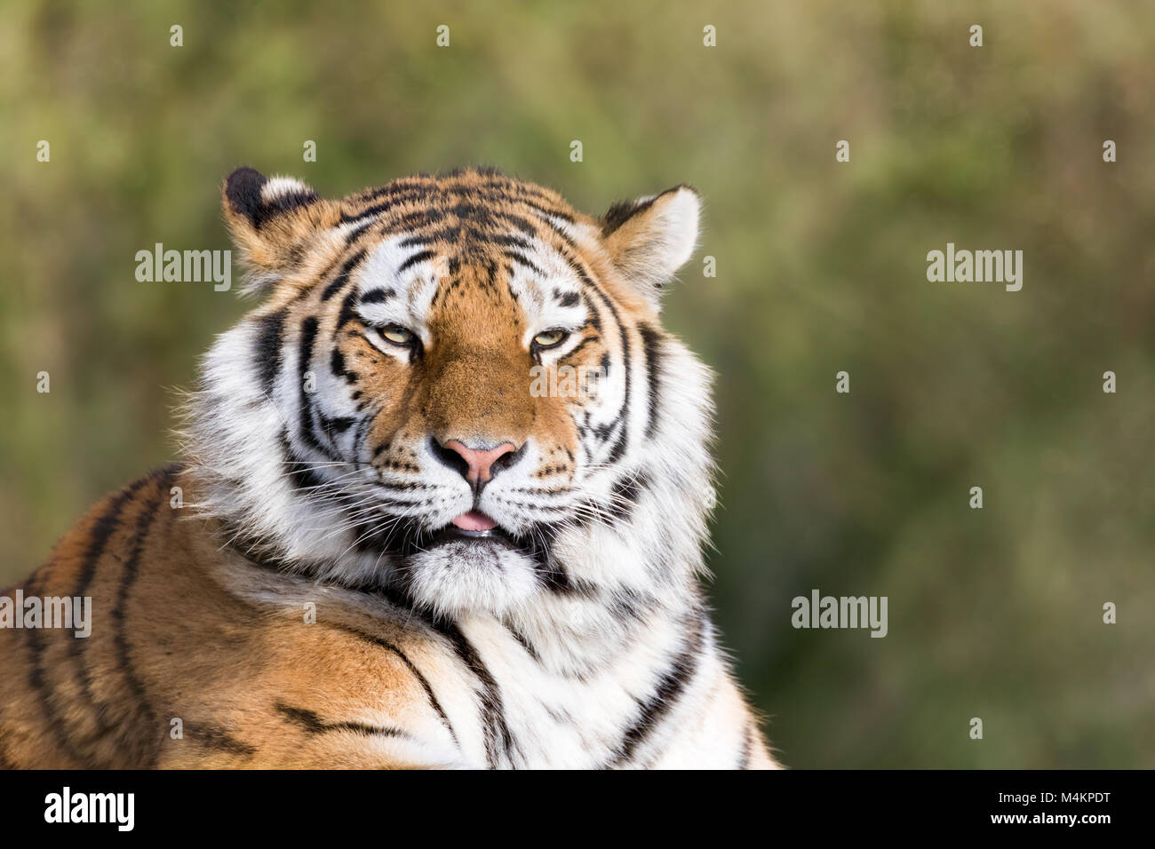 Adult Siberian tiger, Panthera tigris altaica, in afternoon sunlight. This endangered cat is indigenous to Siberia - Stock Image