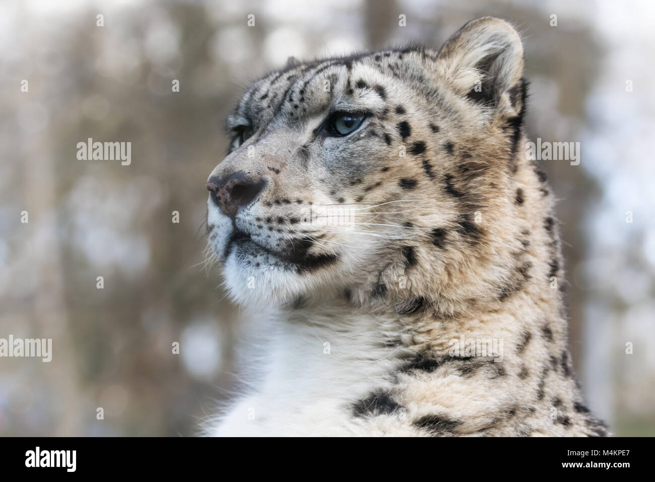 Alert and watchful adult snow leopard in sunlight portrait. - Stock Image