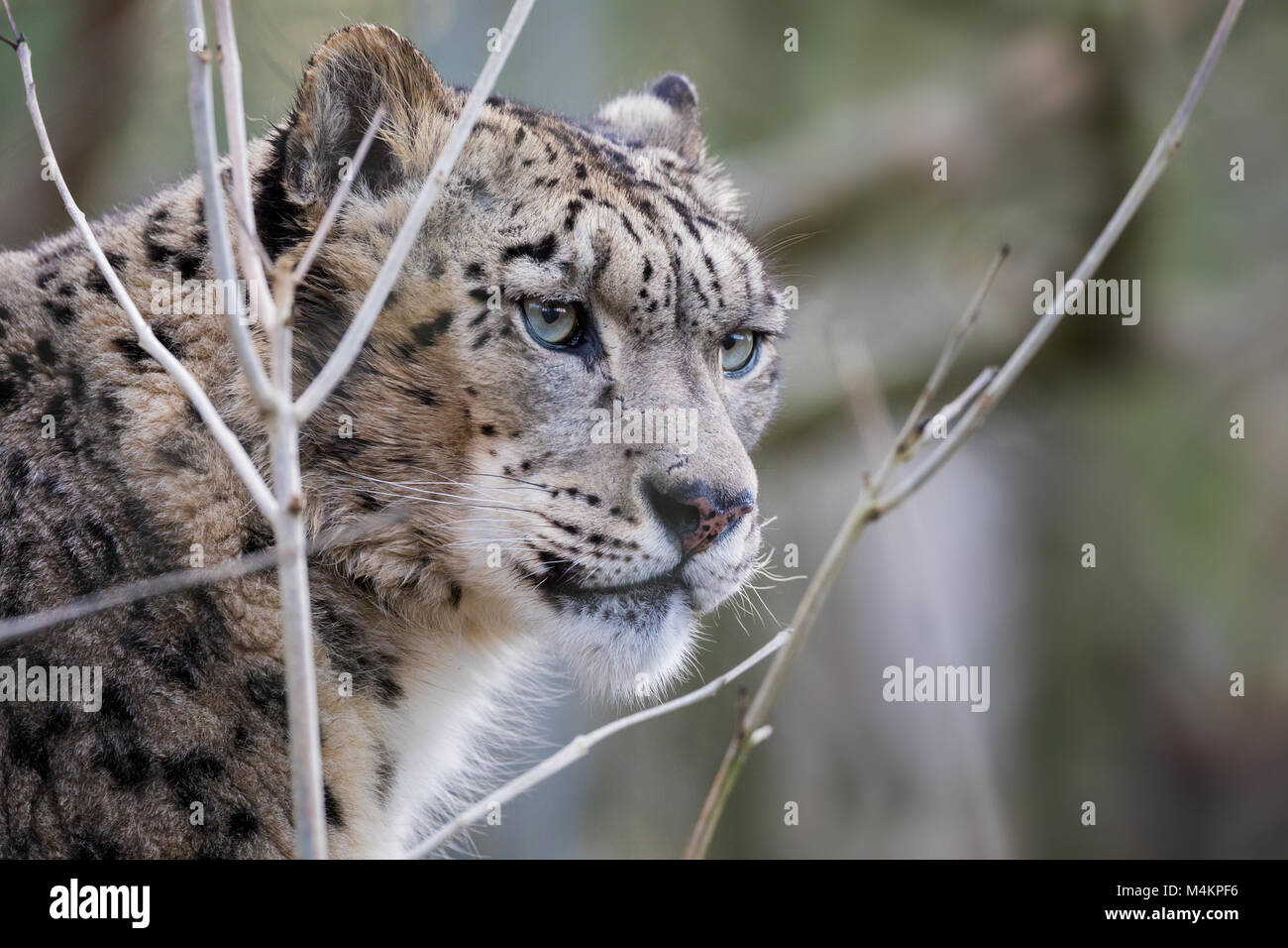 Watchful and alert adult snow leopard portrait with space for text - Stock Image
