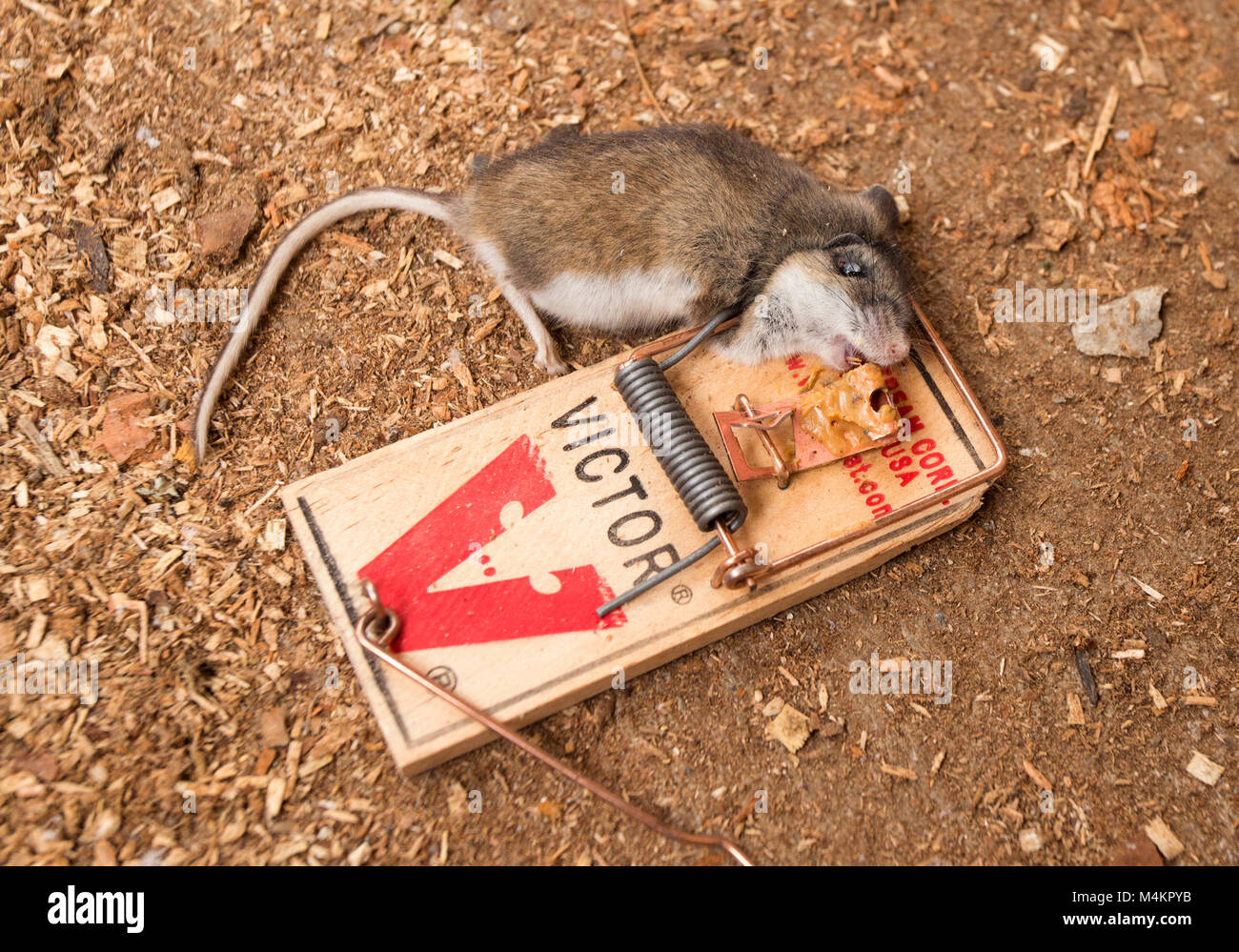 A dead mouse in a Victor mouse trap. House mouse, Mus musculus domesticus - Stock Image