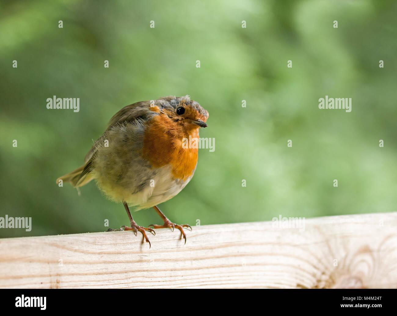 European Robin on Fence Head Tilted - Stock Image