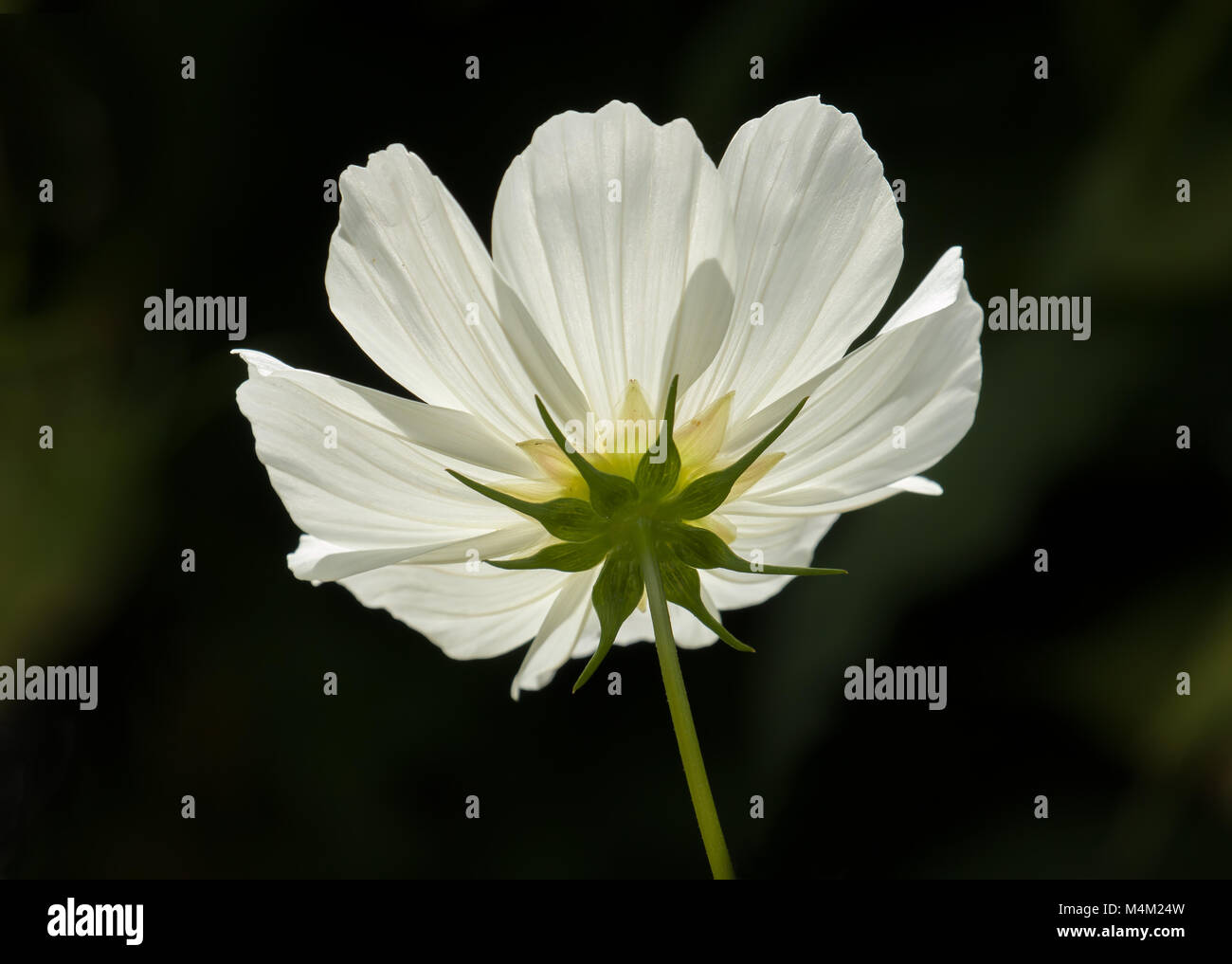 White Cosmos Flower Underside Stock Photo 175003049 Alamy
