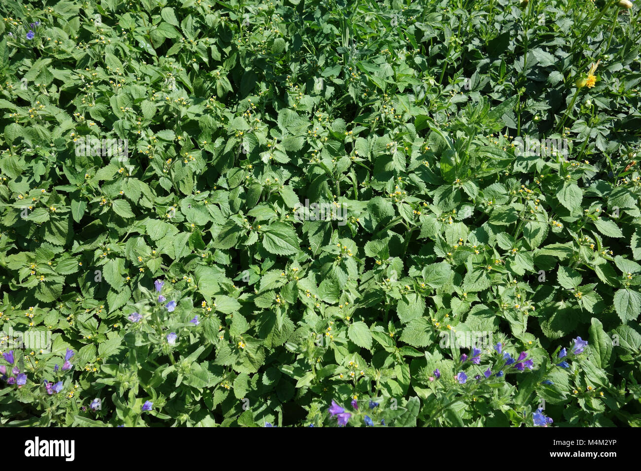 Galinsoga parviflora, gallant soldier - Stock Image