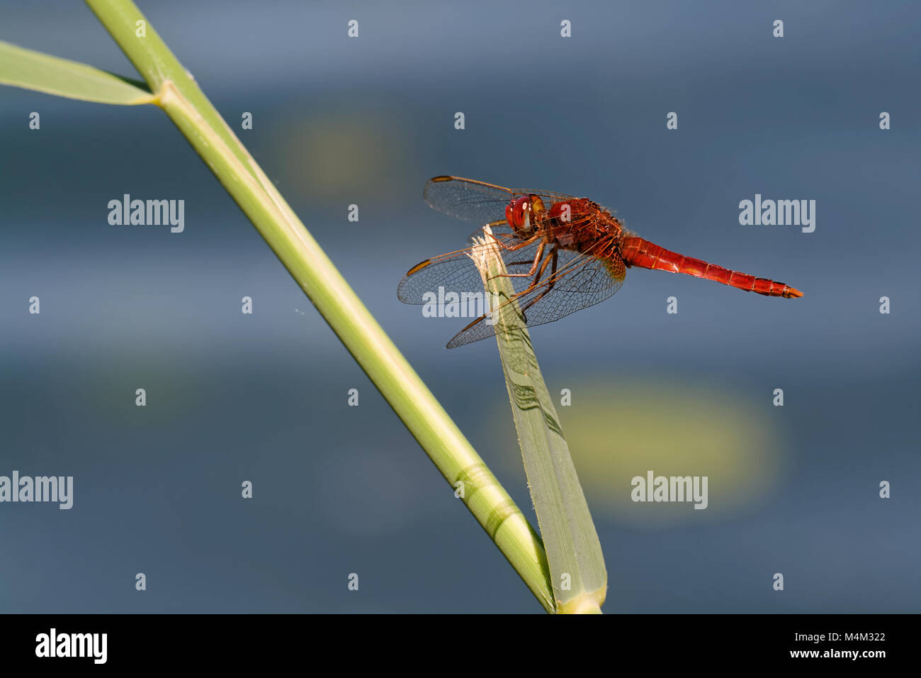 Scarlet dragonfly Stock Photo