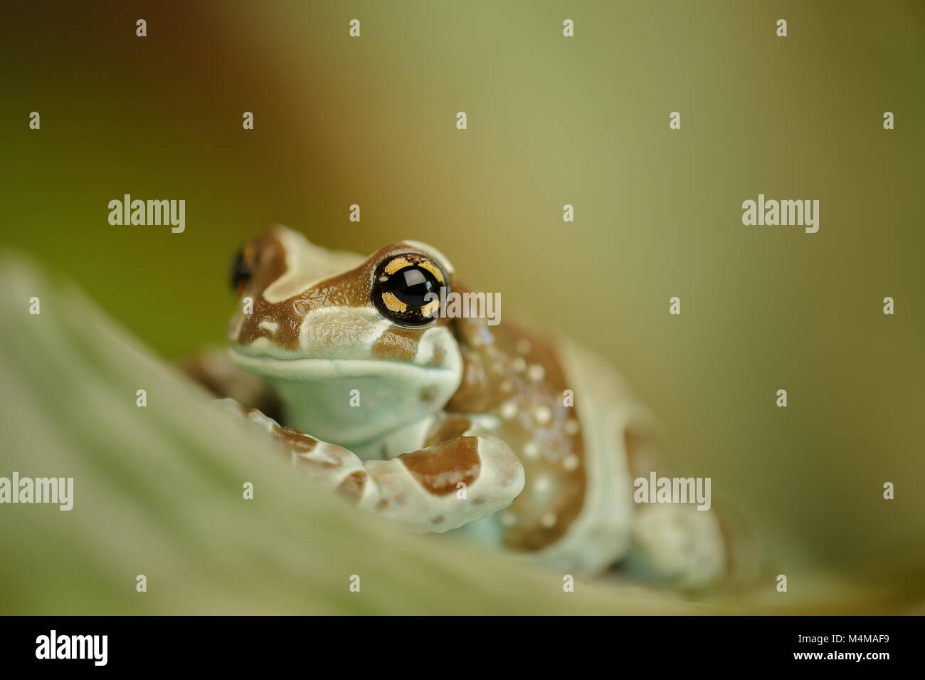 Amazon milk frog on leaf - Stock Image